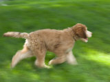 Goldendoodle Puppy Runs Through a Green Grass Yard, Elkhorn, Nebraska Photographic Print by Joel Sartore