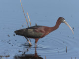 Glossy Ibis Wades for Food in a Salt Marsh Photographic Print by George Grall