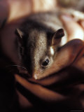 Endangered Leadbeaters Possum Carefully Restrained in a Hand, Yellingbo Nature Reserve, Australia Photographic Print by Jason Edwards