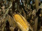 Drought-Damaged Feed Corn near Otoe, Ne Photographic Print by Joel Sartore