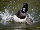 Ring-Necked Duck Swimming, San Diego, California Photographic Print by Tim Laman