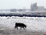 One Cow Walking in Feedlot, Winter Snow Storm, Kansas Photographic Print by Brimberg &amp; Coulson 