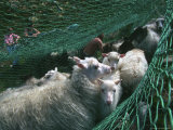 Norway, Sheeps in Net Photographic Print by  Brimberg & Coulson