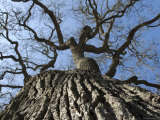 Detail of an Old Valley Oak Tree, California Photographic Print by Rich Reid