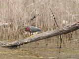 Green Heron Hunches on a Log Photographic Print by Heather Perry