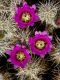 Pink-Flower Hedgehog Cactus, Anza-Borrego Desert State Park, California Photographic Print by Tim Laman