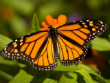 Monarch Butterfly at the Lincoln Children&#39;s Zoo, Nebraska Photographic Print by Joel Sartore