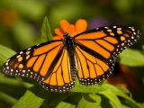Monarch Butterfly at the Lincoln Children's Zoo, Nebraska Stampa fotografica di Sartore, Joel