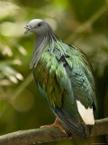 Portrait of a Captive Nicobar Pigeon, Singapore Photographic Print by Tim Laman