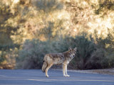 Coyote Patrolling the Furnace Creek Campground, Death Valley, California Photographic Print by Rich Reid