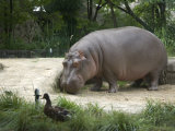 Hippo at the Toledo Zoo Photographic Print by Joel Sartore