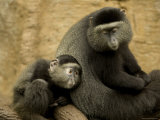 Mother and Infant Blue Monkey, Omaha Zoo, Nebraska Stampa fotografica di Sartore, Joel