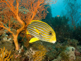 Ribbon SweetlipsFish by a Sea Fan, Bali, Indonesia Photographic Print by Tim Laman