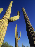 Saguaro's Dwaft One Another in the Arizona Desert Photographic Print by Bill Hatcher