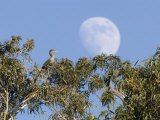 Cormorant in a Tree with a Moon Rising, Santa Barbara, California Photographic Print by Rich Reid