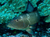 Saddleback Coralgrouper, French Polynesia Photographic Print by Tim Laman
