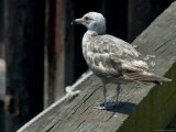 Lone Seagull Standing on Wood Rail of a Pier Photographic Print by Todd Gipstein