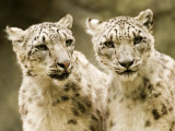 Portrait of Two Captive Snow Leopards Photographic Print by Tim Laman