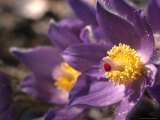 Pasqueflower&#39;s Nectar Attracts a Mite, Alaska Photographic Print by Michael S. Quinton