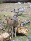 Mule Deer Buck Eating Lichen Off a Fallen Log, California Photographic Print by Rich Reid