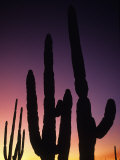 Saguaro Cactus Are Silhouetted by an Arizona Sunset Photographic Print by Bill Hatcher