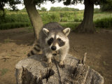 Raccoon at a Wildlife Rescue Member&#39;s Home in Eastern Nebraska Photographie par Joel Sartore