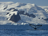 Humpback Whale Shows its Fluke, Paradise Bay, Antarctica Photographic Print by Ralph Lee Hopkins