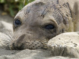 Elephant Seal Relaxing on the Beach, California Photographic Print by Rich Reid