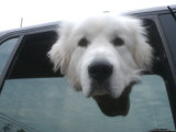 Dog Looks Out from a Car Window, Bath, Maine Photographic Print by Heather Perry