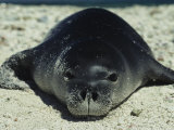 Hawaiian Monk Seal Photographic Print by Bill Curtsinger