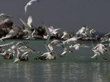 Elegant Terns at Rasa Island, Baja California, Mexico Photographic Print by Ralph Lee Hopkins