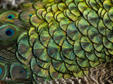 Peacock Feathers Photographic Print by Tim Laman