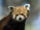 Red Panda at Zoo Montana in Billings Photographic Print by Joel Sartore