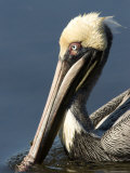 Portrait of a Brown Pelican, Sanibel Island, Florida Photographie par Tim Laman