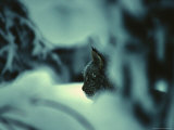 Lynx in Snowy Forest, Alaska Photographic Print by Michael S. Quinton