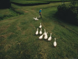 Flock of Geese Chasing a Man Through a Field Photographic Print by Randy Olson