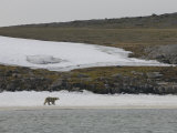 Polar Bear Walking on Snow Covered Beach, Svalbard Islands, Norway Photographic Print by  Brimberg & Coulson