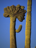 Saguaro with Cristate Mutation Grows Next to a Non Mutated Saguaro Photographic Print by Bill Hatcher