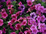 Pink Petunias Photographic Print by Stacy Gold