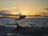 Dusky Dolphins Fotografisk trykk av Bill Curtsinger
