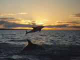 Dusky Dolphins Photographic Print by Bill Curtsinger