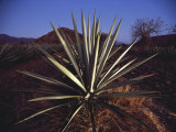 Mexico, Oaxaca, Field of Agave Plants for Making Tequila Photographic Print by  Brimberg & Coulson