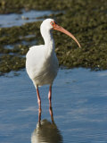 Portait of a White Ibis, Sanibel Island, Florida Photographic Print by Tim Laman