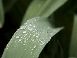 Rain Droplets on Leaves in a Flower Garden, New York Photographic Print by Tim Laman