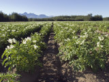 Potato Fields in Matanuska Valley and the Chugach Mountains, Alaska Photographic Print by Rich Reid