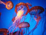 Fleet of Golden, Long-Tentacled Jellyfish, California Fotografisk tryk af Sisse Brimberg