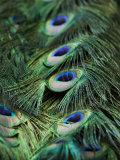 Peacock Feather Detail Papier Photo par Tim Laman