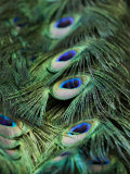 Peacock Feather Detail Photographic Print by Tim Laman