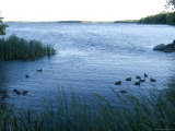 Ducks Swim Along the Edge of Leech Lake in Minnesota Photographic Print by Joel Sartore