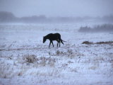 One Horse Walking Along in Winter Snow Storm, Kansas Photographic Print by  Brimberg & Coulson